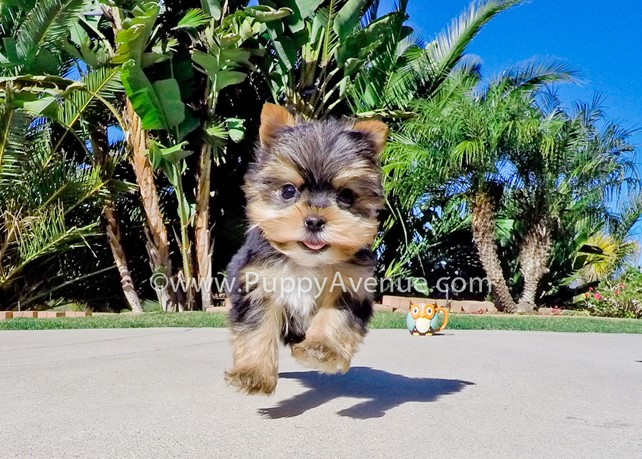 Cash is our perfect AKC Yorkie Male Puppy For Sale