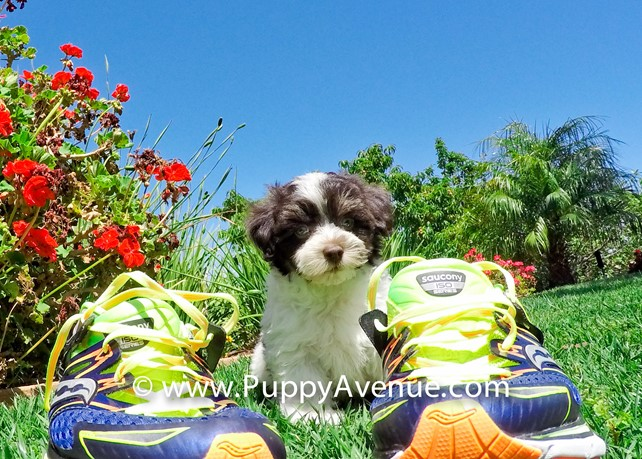 Sayer is our Handsome Havanese Male Puppy