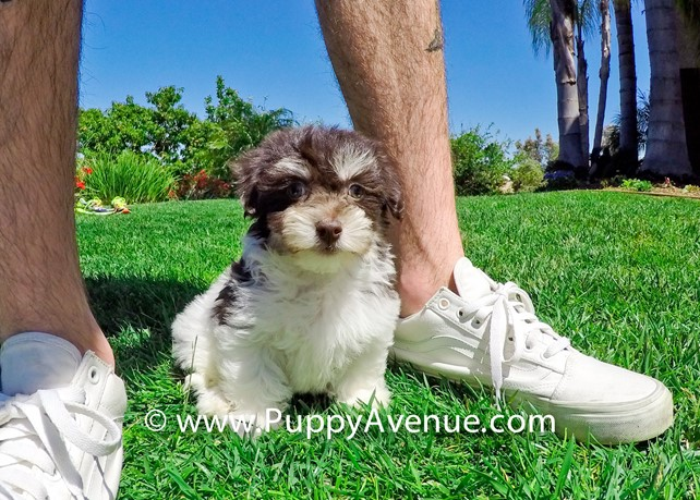 Spring is our Stunning Havanese Female Puppy
