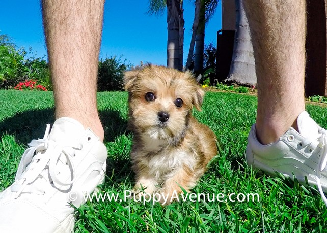 Tally is our Super Nice Morkie Hybrid Female Puppy
