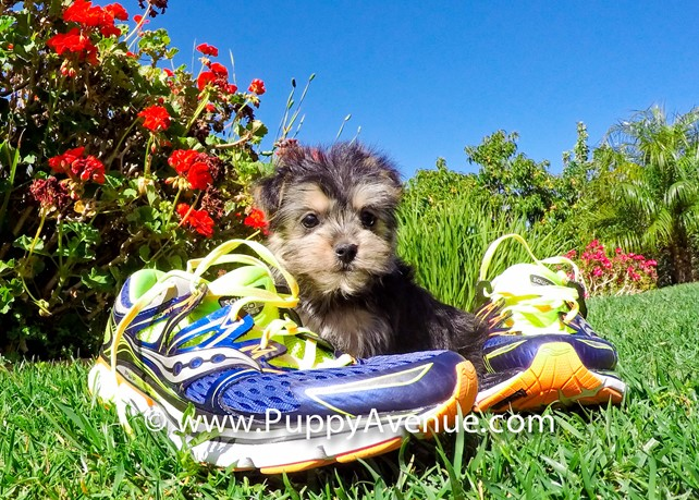 Laird is our Super Nice Morkie Hybrid Male Puppy