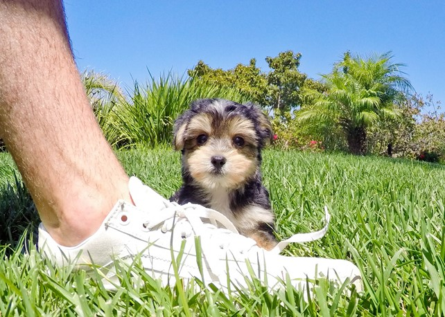 Foxy is our Gorgeous Morkie Female Hybrid Puppy