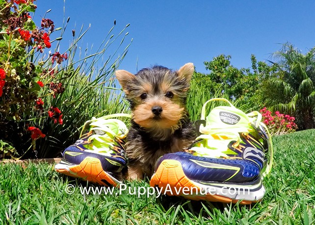 Keegan is our Stunning AKC Yorkie Female Puppy