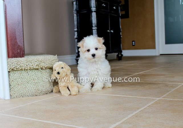 Cody is our gorgeous AKC Havanese Male Puppy