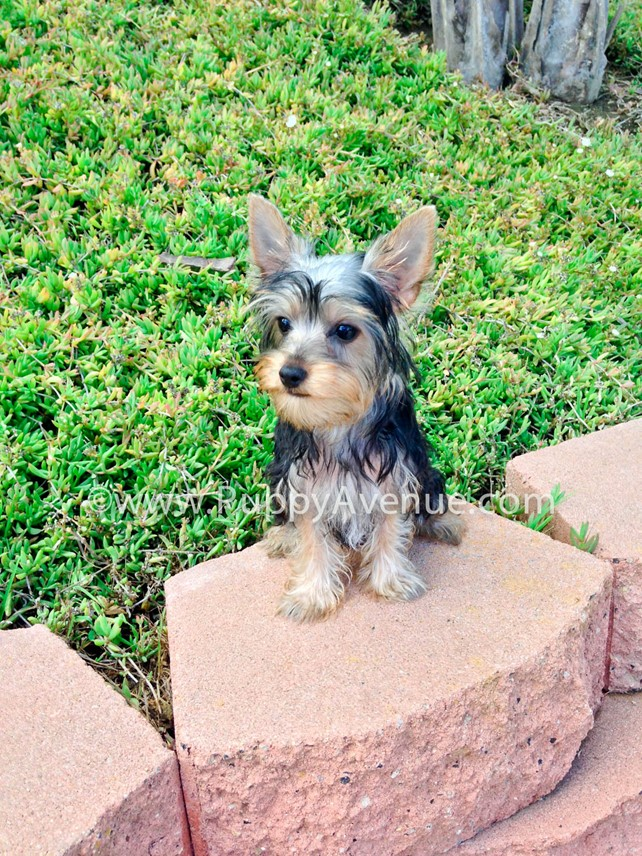 Felicia is our Gorgeous ACA Yorkshire Terrier Puppy
