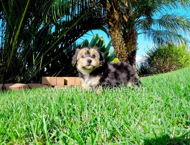Big Tyke is our adorable Morkie Hybrid Male Puppy