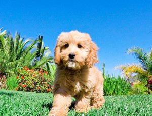 Mini Goldendoodle Puppies For Sale In San Diego Southern