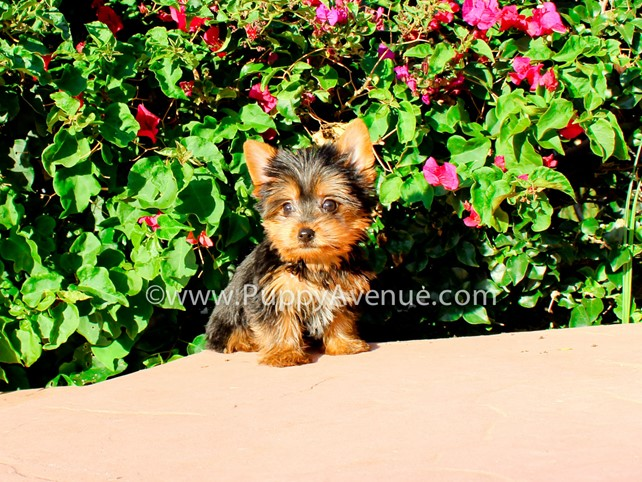 Ava is our Beautiful Little AKC Yorkie Female Puppy