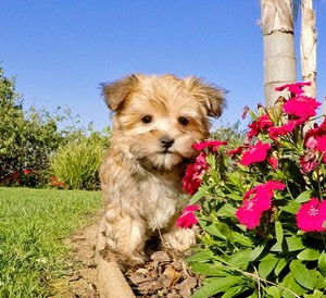 Morkie Puppies For Sale In California Morkie Pups In San Diego