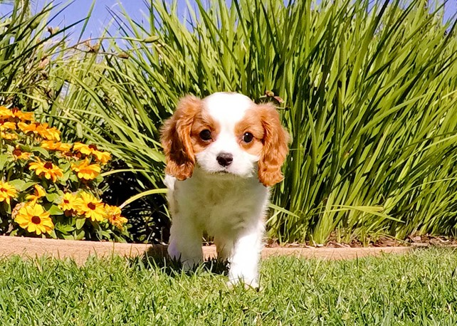 Jaco is our Perfect AKC Cavalier Male Puppy
