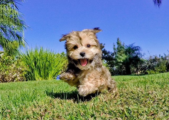 Dash is our Fantastic Morkie Male Hybrid Puppy