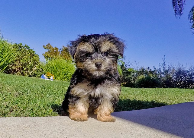 Mimi is our  Fabulous Morkie Female Hybrid Puppy