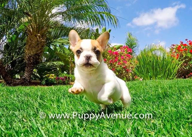Beyonce is our Gorgeous ACA French Bulldog Female Pup