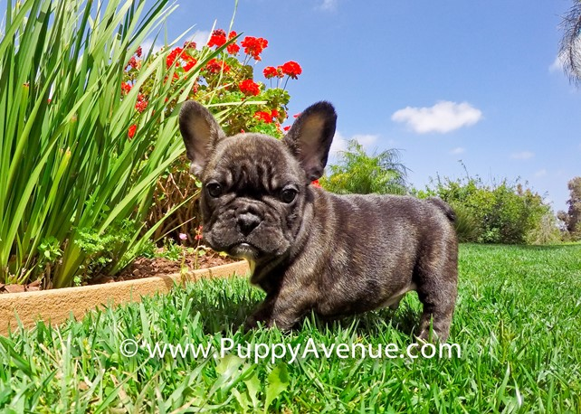 Deuce Bigalow is our Perfect AKC French Bulldog Male
