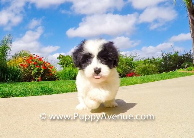 Bryanna is our Adorable Morkie Hybrid Female Puppy