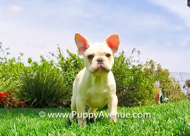 Zeus is our Super Handsome French Bulldog Male Puppy