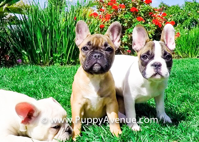 Demi is our Gorgeous French Bulldog Female Puppy