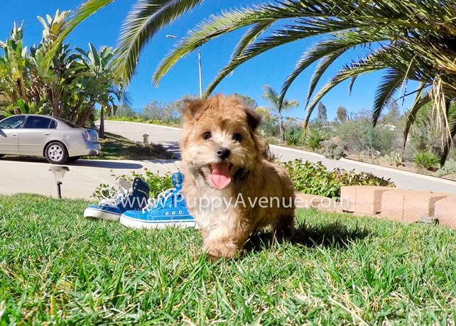 Marley is our gorgeous and small Morkie Hybrid Male Pup