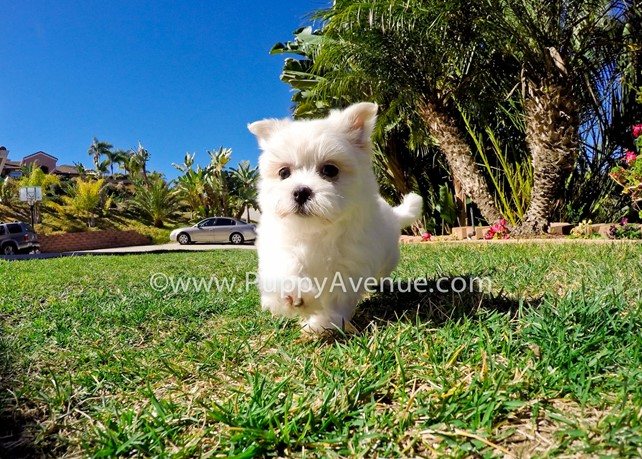 Delilah is our Adorable n Fluffy MaltiPoo Hybrid Female