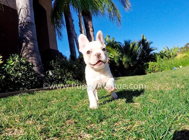 Pedro is our Playful AKC Male Frenchie Puppy