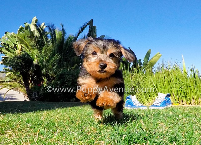Royce is our tiny and fun ACA Yorkshire Terrier Male Puppy