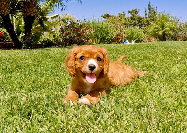 Petey is our Playful Cavalier King Charles Spaniel Male