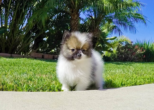 Jeter is our Super Tiny ACA Pomeranian Male Puppy 10