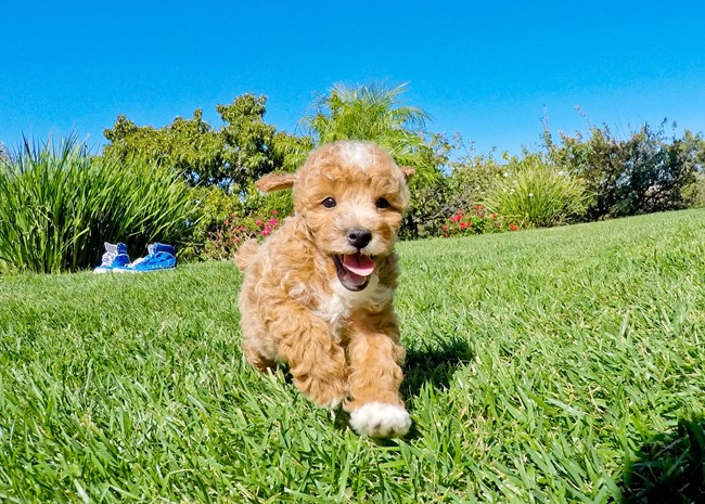 Ryder is our Super Handsome Mini Goldendoodle Male 14
