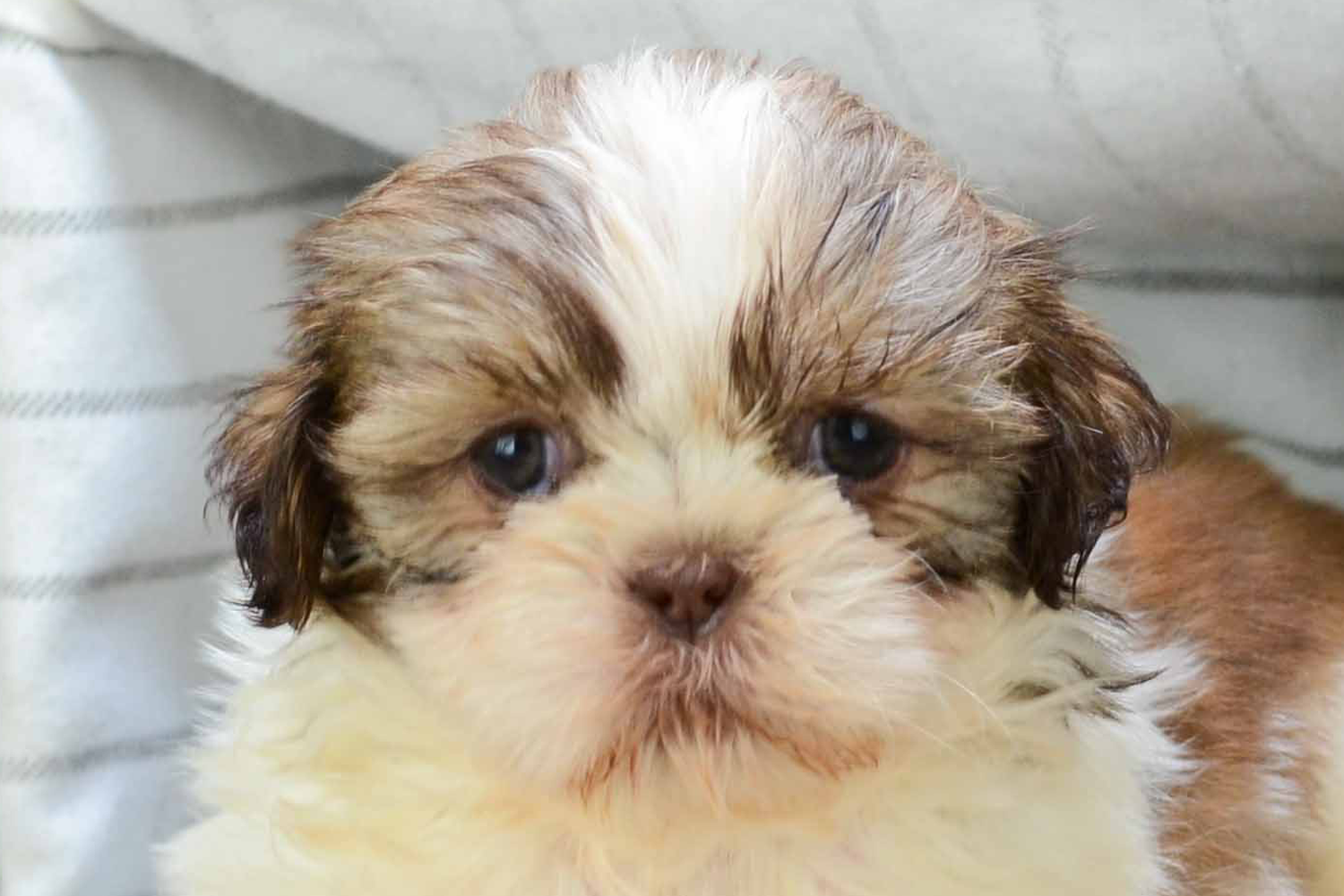 Where to buy puppies in san diego