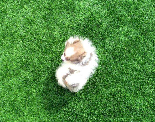 Stiletto is our beautiful POMSKY Female Puppy! 6
