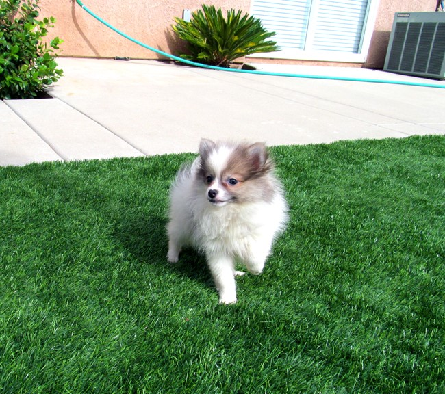 Stiletto is our beautiful POMSKY Female Puppy! 10