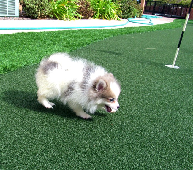 Stiletto is our beautiful POMSKY Female Puppy! 13