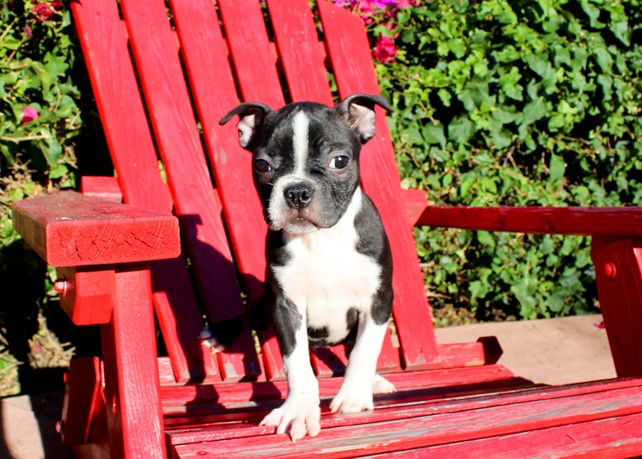 Colt is our Precious ACA Boston Terrier Male Puppy