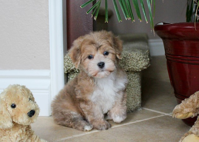 Roman is our Handsome Morkie Male Hybrid Puppy