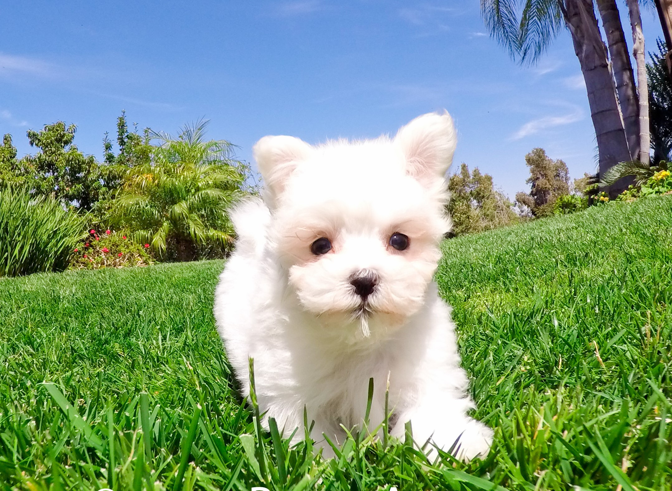 Teacup Dogs For Sale In San Diego Ca
