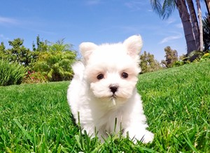 Maltese Puppies For Sale In California Maltese Pups For Sale In San