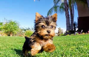 Yorkie Puppies For Sale in California, Yorkie Pups for Sale San Diego, Yorkies  for Sale in Southern California, Buy teacup Yorkshire Terrier