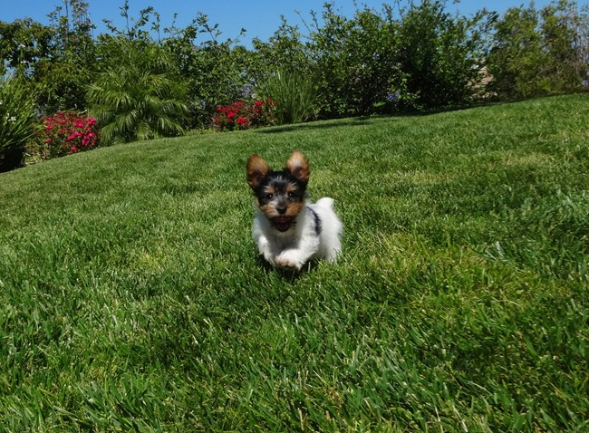 Jameson is our TINY Male ACA Parti Yorkie Pup ! 1