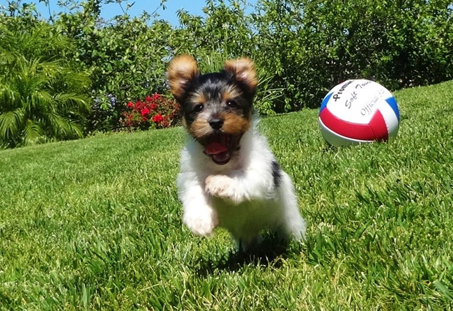 Jameson is our TINY Male ACA Parti Yorkie Pup ! 13