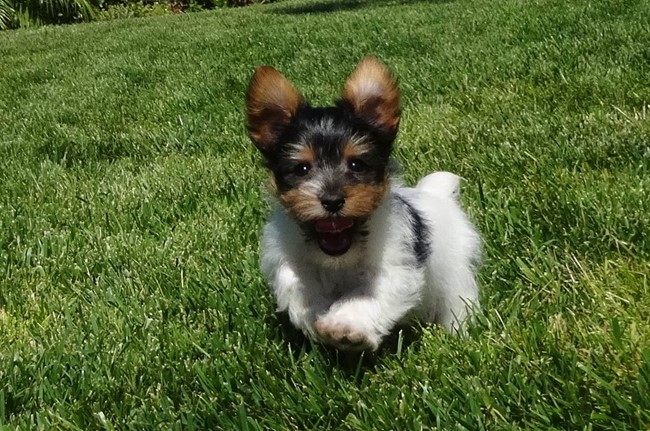 Jameson is our TINY Male ACA Parti Yorkie Pup ! 16