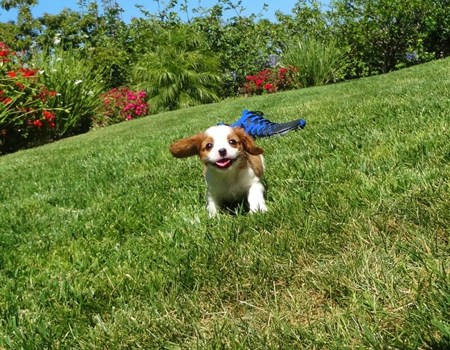 Kelton is our Adorable Male AKC Cavalier Puppy !! 11