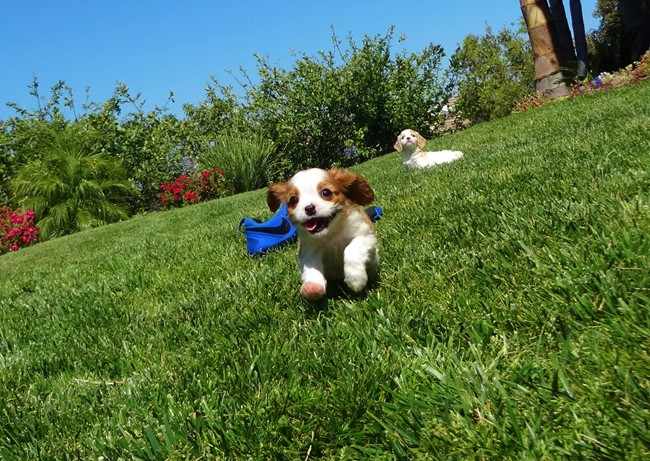 Kelton is our Adorable Male AKC Cavalier Puppy !! 10