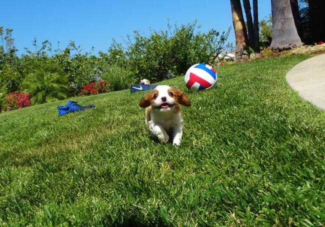Kelton is our Adorable Male AKC Cavalier Puppy !! 9