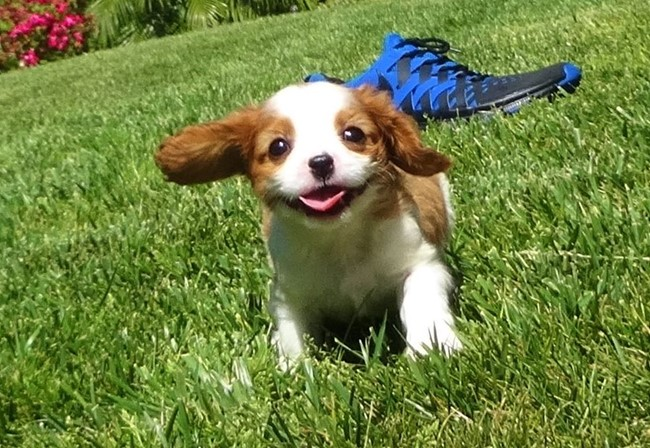 Kelton is our Adorable Male AKC Cavalier Puppy !! 14
