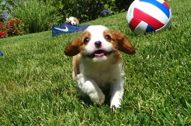 Kelton is our Adorable Male AKC Cavalier Puppy !! 12