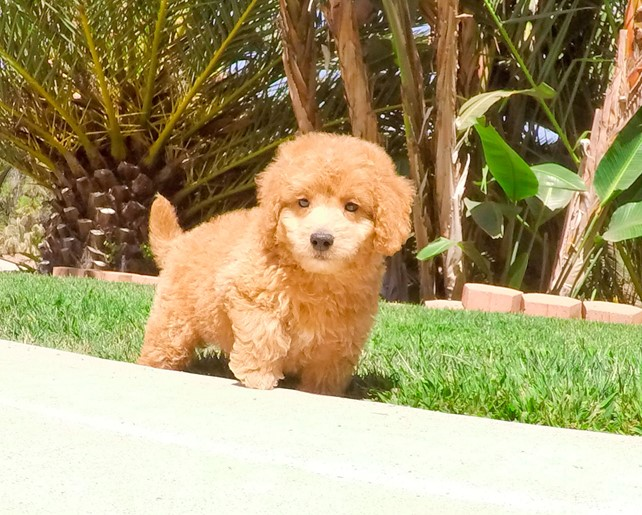 Franky is our super cute Mini Goldendoodle Male Puppy