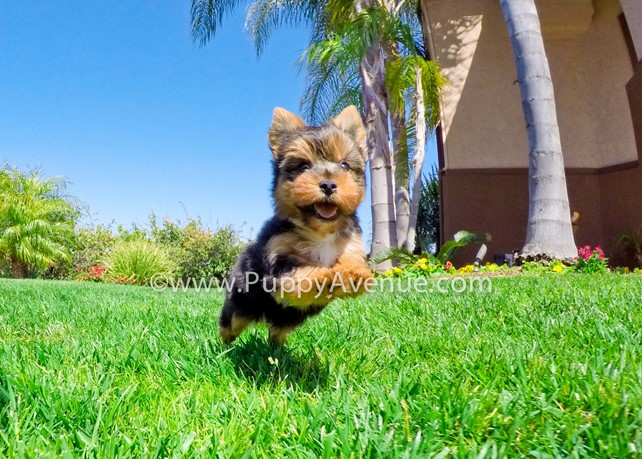 Lily is our Gorgeous AKC Yorkshire Terrier Female Puppy