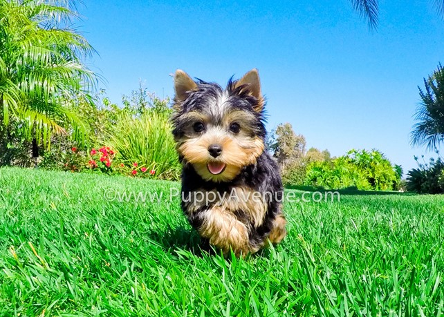 Archie is our Super Handsome ACA Yorkie Male Puppy
