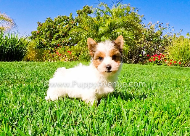 Mimi is our Perfect AKC Parti Yorkie Female Puppy