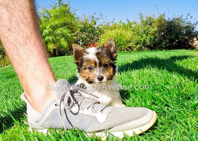 Tiger is our Adorable AKC Yorkshire Terrier Male Puppy